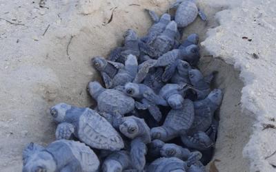 Auf der Privatinsel Ocean Cay MSC Marine Reserve schlüpfen die ersten Meeresschildkröten